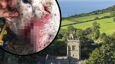 A pregnant ewe suffered horrific injuries after it was attacked in Salcombe Regis on January 4. Pict