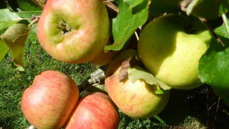 There will be free apples for the people of Ottery. Picture: Ruth Worsley