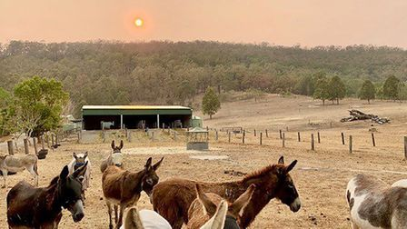 Donkeys at the sanctuary in New South Wales. Picture; Good Samaritan Donkey Sanctuary