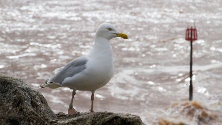 The ban on feeding seagulls could be extended by three years in East Devon. shs 14 18TI 0936. Pictur