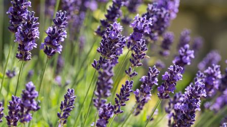 Lavender, grown by the Ottery company for the National Trust's shops Picture: Getty Images