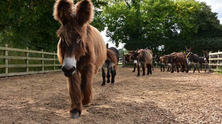 Poitou donkeys at The Donkey Sanctuary. Picture: Simon Horn