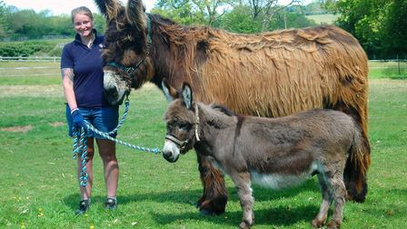 Two of the donkeys with groom Rachel Hill. Picture: The Donkey Sanctuary