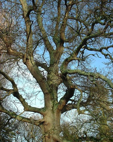 An oak tree. Picture: Charles Sinclair