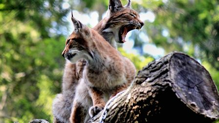 The two lynx. Picture: Wildwood Escot