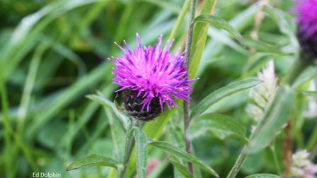 Knapweed. Picture: Ed Dolphin
