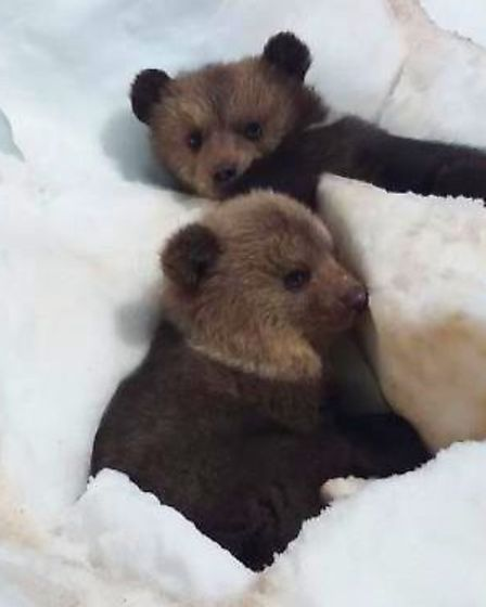 The baby bears were found in a snowdrift. Picture: Wildwood Trust