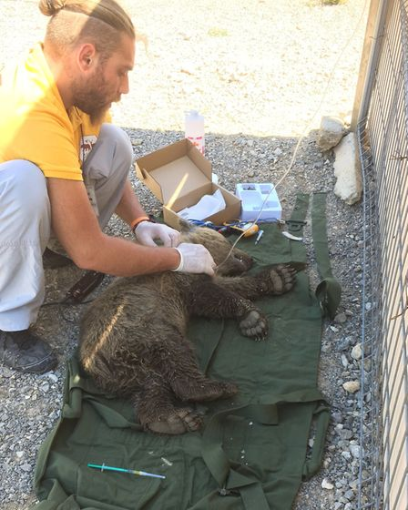 Rescuing one of the bear cubs. Picture: Albanian Wildlife Rescue Team