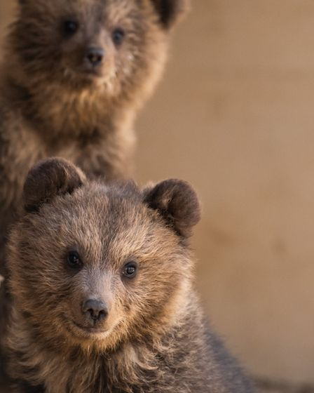 Mish and Lucy the cubs. Picture: Wildwood Trust