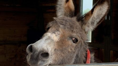 30 year old Teddy letting grooms know he's finished his breakfast. Picture: The Donkey Sanctuary
