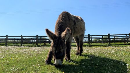 Dartanyan the Poitou donkey. Picture: The Donkey Sanctuary