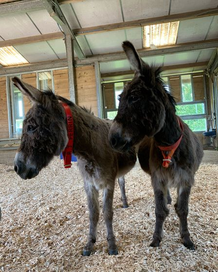 RJ and Seamus in Shelter 3. Picture: The Donkey Sanctuary