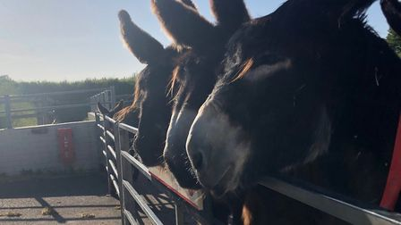Poitou donkeys. Picture: The Donkey Sanctuary