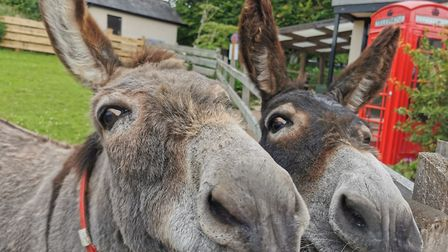 Laurel and Hardy at the Sidmouth Sanctuary. Picture: The Donkey Sanctuary