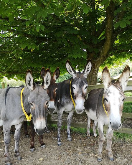 Slade House Farm donkeys find shade from the sun. Picture: The Donkey Sanctuary