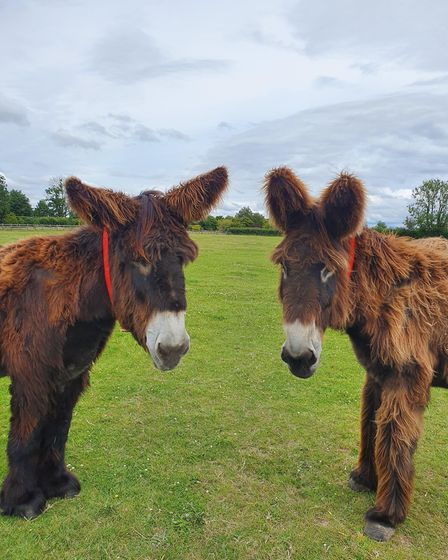 Poitou donkeys at the Sidmouth sanctuary. Picture: The Donkey Sanctuary