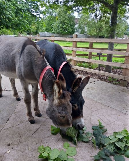 Rescued donkeys Laurel and Hardy enjoy some enrichment. Picture: The Donkey Sanctuary