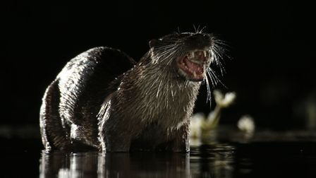 Otter. Picture: Mark Taylor Hutchinson