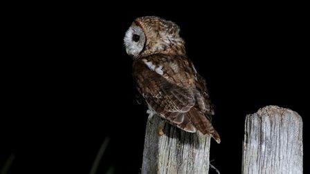 Tawny owl, Picture: Mark Taylor Hutchinson