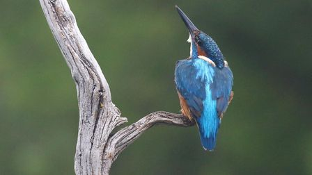 Kingfisher. Picture: Mark Taylor Hutchinson