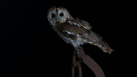 Tawny owl. Picture: Mark Taylor Hutchinson