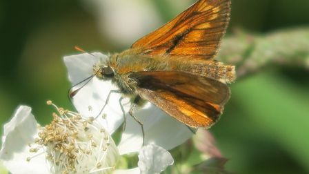 Large Skipper butterfly, spotted on Soldier's Hill, Sidmouth. Picture: Charles Sinclair
