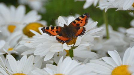 A small tortoiseshell butterfly. Picture: Chris Lockyear