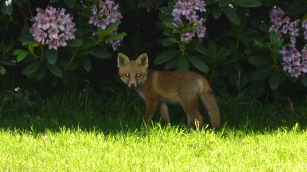 A fox. Picture: Chris Lockyear