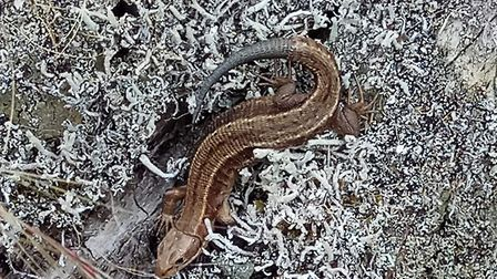 A common lizard. Picture: : Charles Sinclair