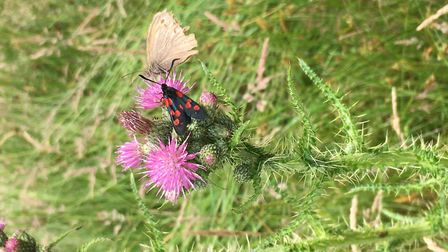 Six-spot Burnet moth and Meadow Brown butterfly. Picture: Charles Sinclair