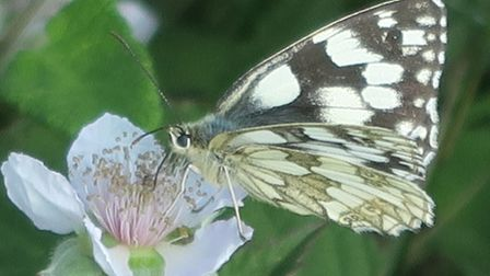 Marbled White butterfly. Picture: Charles Sinclair