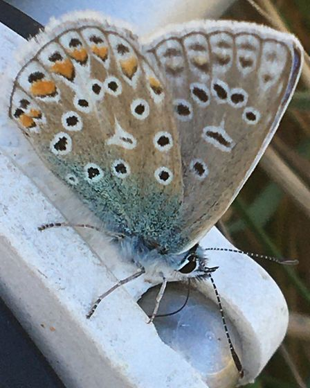 Common Blue butterfly. Picture: Jan Metcalf