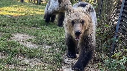 The bear cubs at their temporary home in Kent. Picture: Wildwood Trust