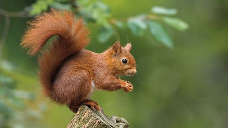 Red squirrel. Picture: Wildwood Trust