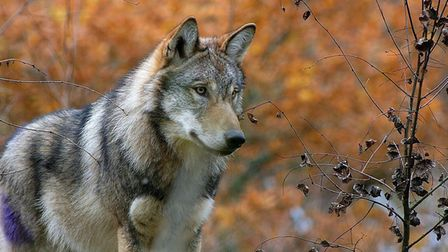 One of the wolves. Picture: Wildwood Trust
