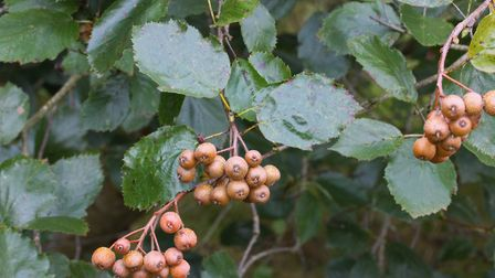 The Devon Whitebeam's fruit, known as Sorb Apples. Picture: Ed Dolphin