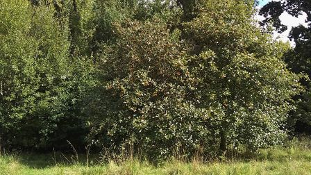 The Devon Whitebeam growing in Gilchrist Field. Picture: Ed Dolphin