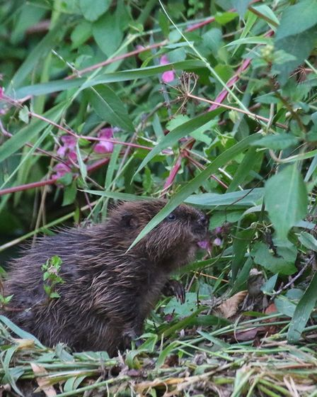 Wild beaver. Picture; Mark Taylor Hutchinson