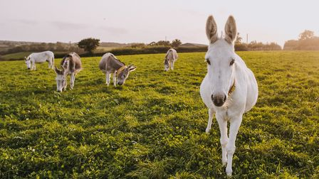 Donkeys in a field at the sanctuary. Picture; Matt Austin