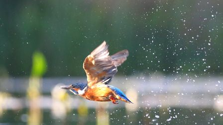 Kingfisher in flight, by Mark Taylor Hutchinson
