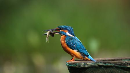 Kingfisher with fish, by Mark Taylor Hutchinson
