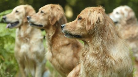 100 years of the Golden Retriever Club. Photo: Nick Ridley
