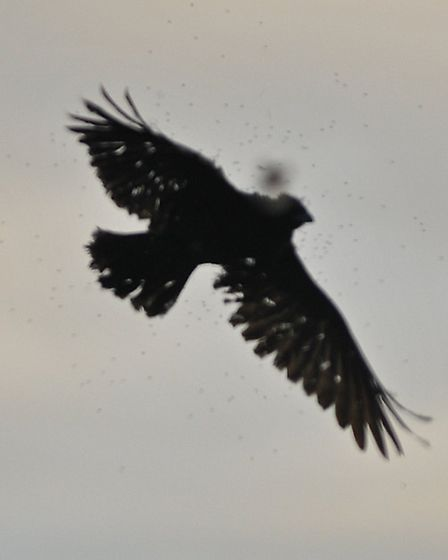 Crows can flare at any moment