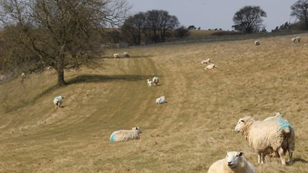 The foxes only attacked ewes with twins