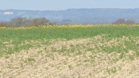 The rape crop suffered over the winter and is very patchy