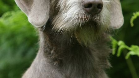 The Slovakian rough-haired pointer is a tough all-round dog, quite often mistaken for a rough-coated