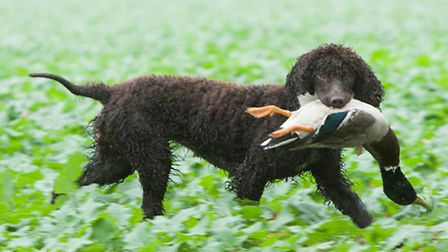 The Irish water spaniel excels as a wildfowling dog, although I have seen plenty picking up on drive