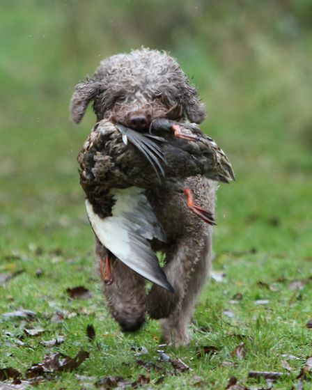 The Lagotto Romagnolo is more often used as a truffle hunting dog, but some owners still use them fo