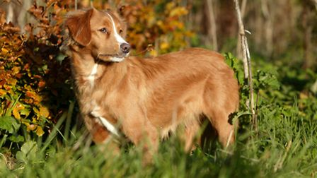 The Nova Scotia duck toller is a smart little dog that is a very keen retriever, both on land and in