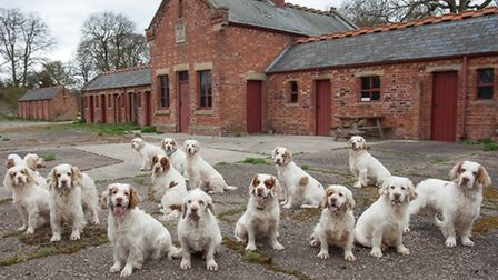 The Clumber spaniel is steady, reliable, stoical, great-hearted and high intelligent